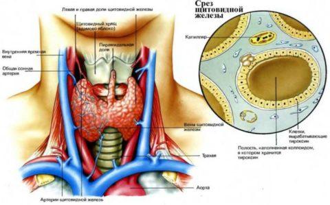 Строение щитовидной железы и ее фолликулов