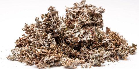 Исландский мох – эффективное целебное и укрепляющее организм средство.
