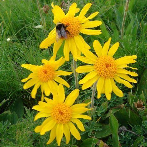 Растение можно собирать летом в период цветени