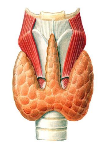 Схематическое строение щитовидки