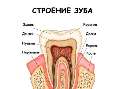 На фото указано анатомическое строение в продольном срезе.