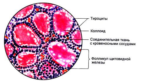 Структура фолликула щитовидной железы