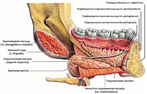Топография органа