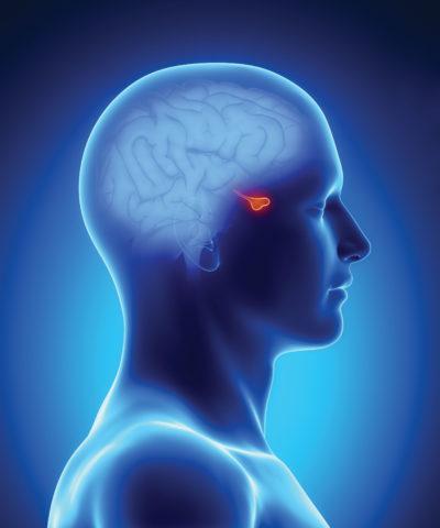 ТТГ вырабатывается в гипофизе (на фото отмечен красным)