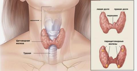 Нормальный размер и расположение щитовидной железы